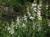 Goatsrue flowers
