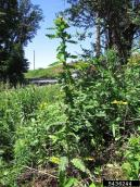 Edible thistle (Cirsium edule)