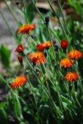 Orange hawkweed in bloom