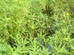 Water primrose flower and willow-shaped leaves