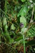 Orange hawkweed pre-bloom