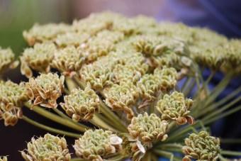 Giant hogweed seed head