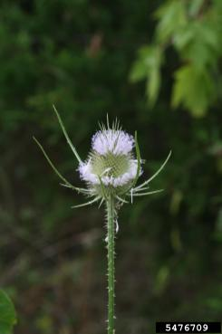 Common teasel flower head