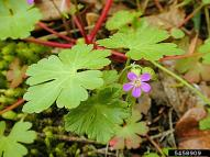 Shining geranium leaves and flowers