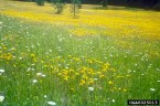 Meadow hawkweed infestation