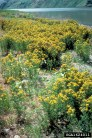 St. John's wort infestation