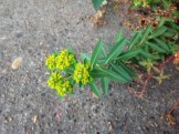 Oblong spurge leaves and flowers