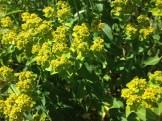 Oblong spurge in flower