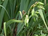 Yellow flag iris seed pods