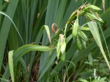 Yellow flag iris seed pods