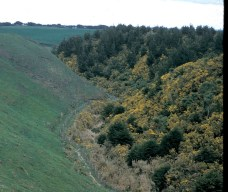 gorse infestation