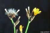 Rush skeleton weed flower