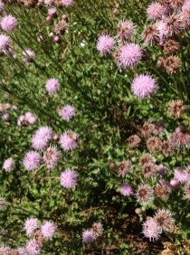 Canada thistle flowering plants