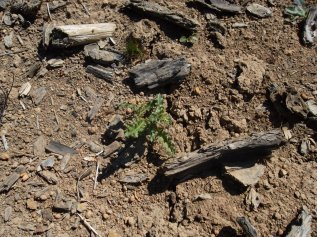 Canada thistle seedling