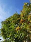 Large Tree-of-heaven. Photo: Samuel Leininger, Clackamas SWCD