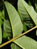 tree-of-heaven leaves