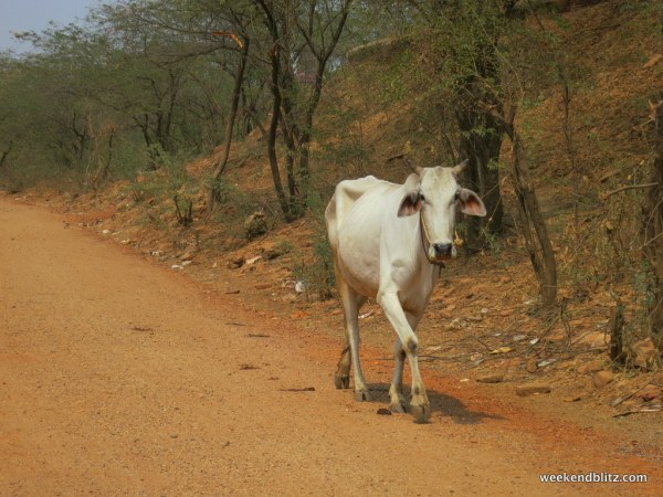 Cows roaming the streets in the less crowded roads outside of town