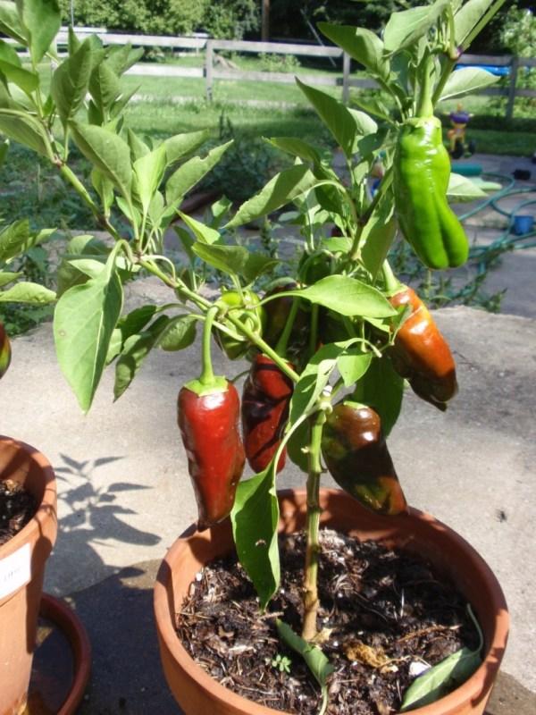 Perennial Bell Pepper Project