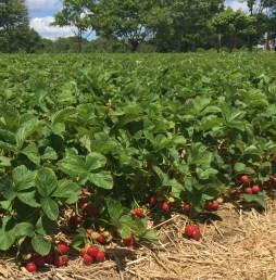 Strawberry Picking Maxwells Farm (6)