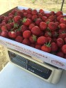 Strawberry Picking Maxwells Farm (8)