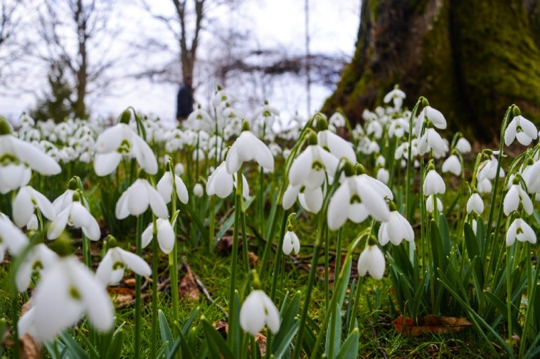 Snowdrops at Colesbourne Park