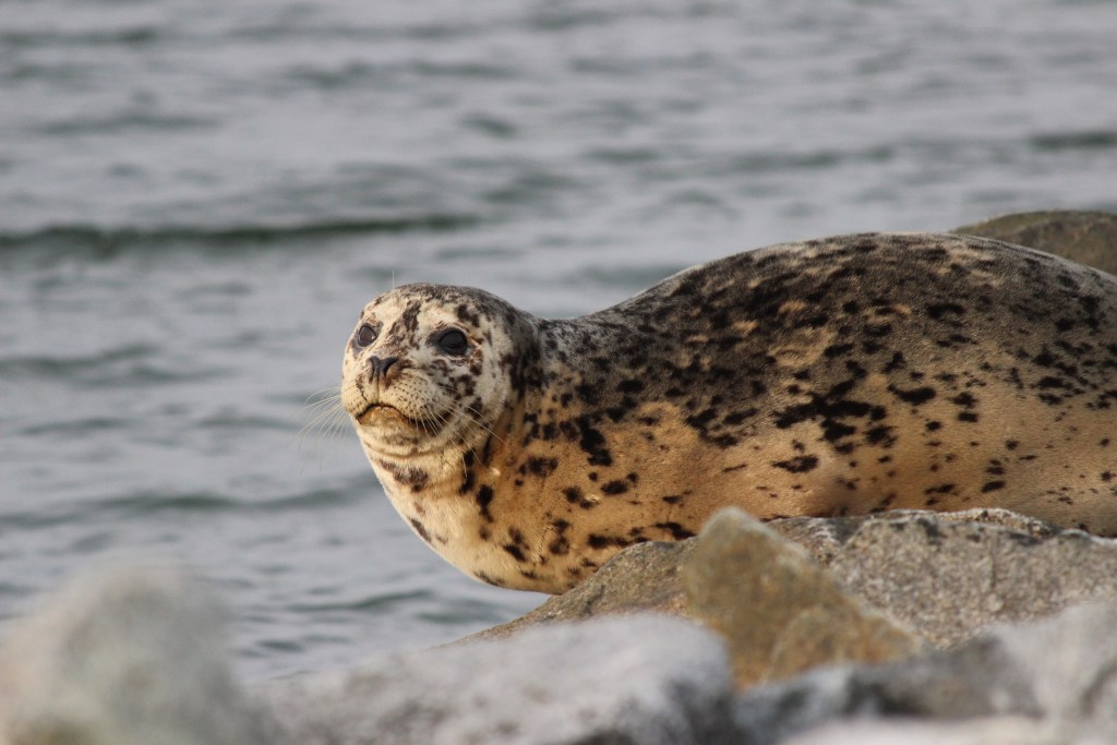 A friendly-looking Harbour Seal on Iona Island's south jetty