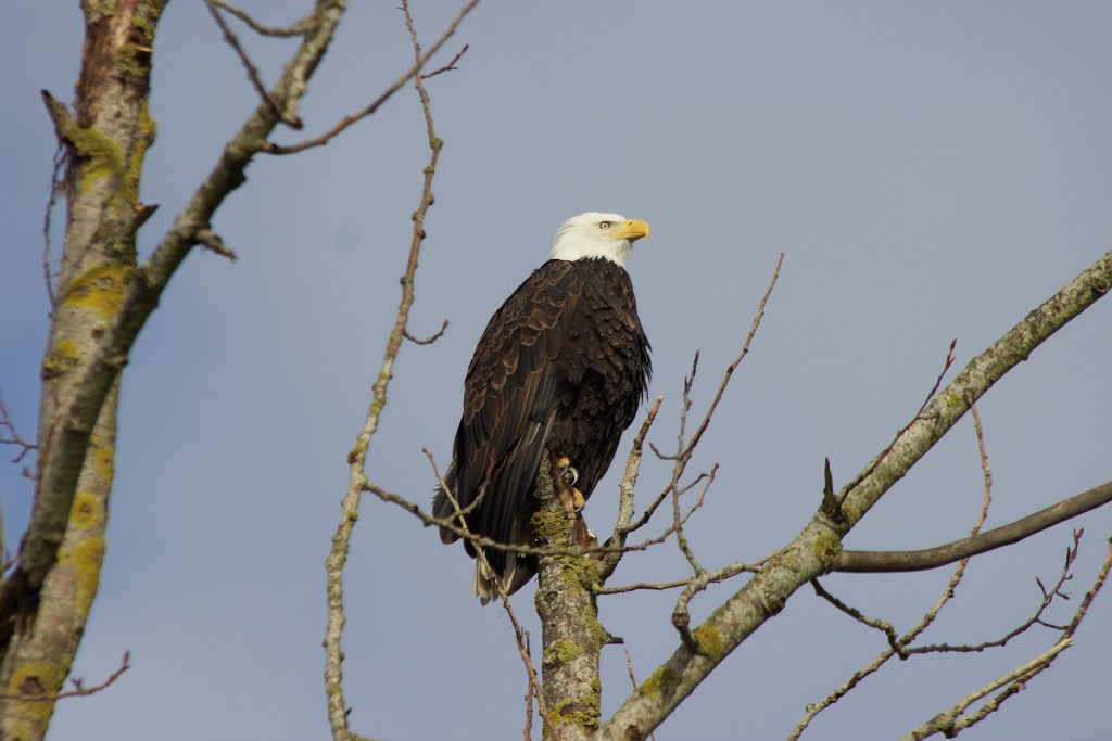 An adult Bald Eagle perched on the highest tree in the shoreline area of Blackie Spit