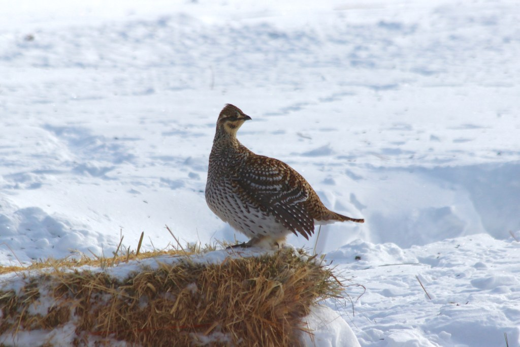 Sharp-tailed Grouse on hay