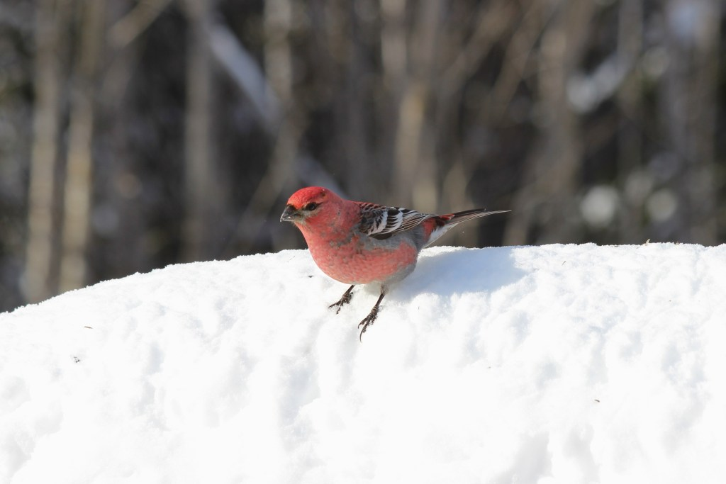 Pine Grosbeak at Sax-Zim Visitor Center