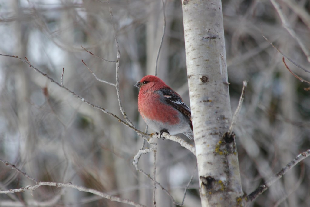 Pine Grosbeak (male) perched at Sax-Zim Bog