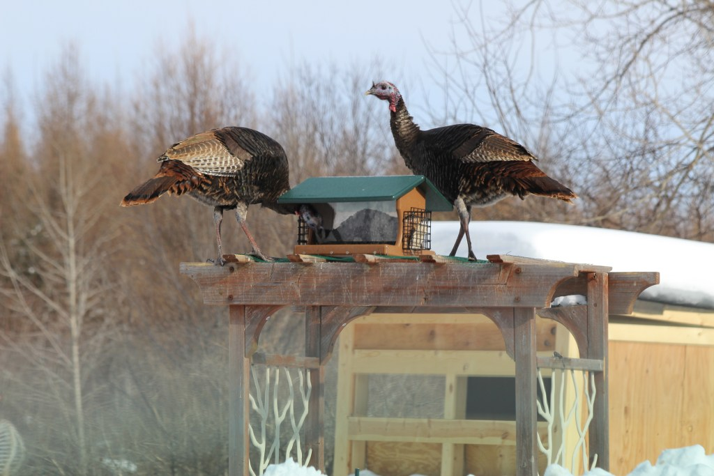 Wild Turkeys on a feeder on a trellis