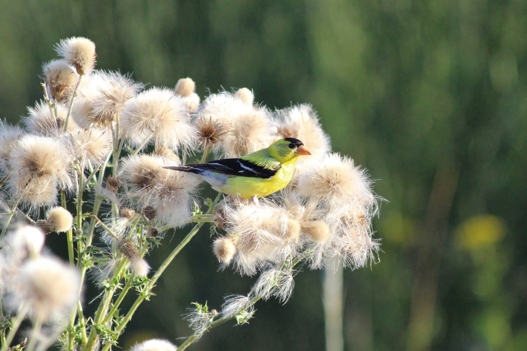 American Goldfinch at Iona Island in the spring