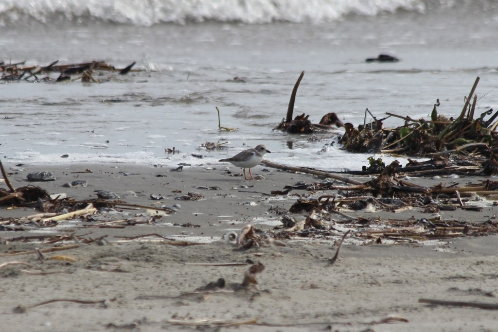 Piping Plover at Grand Isle, LA in March