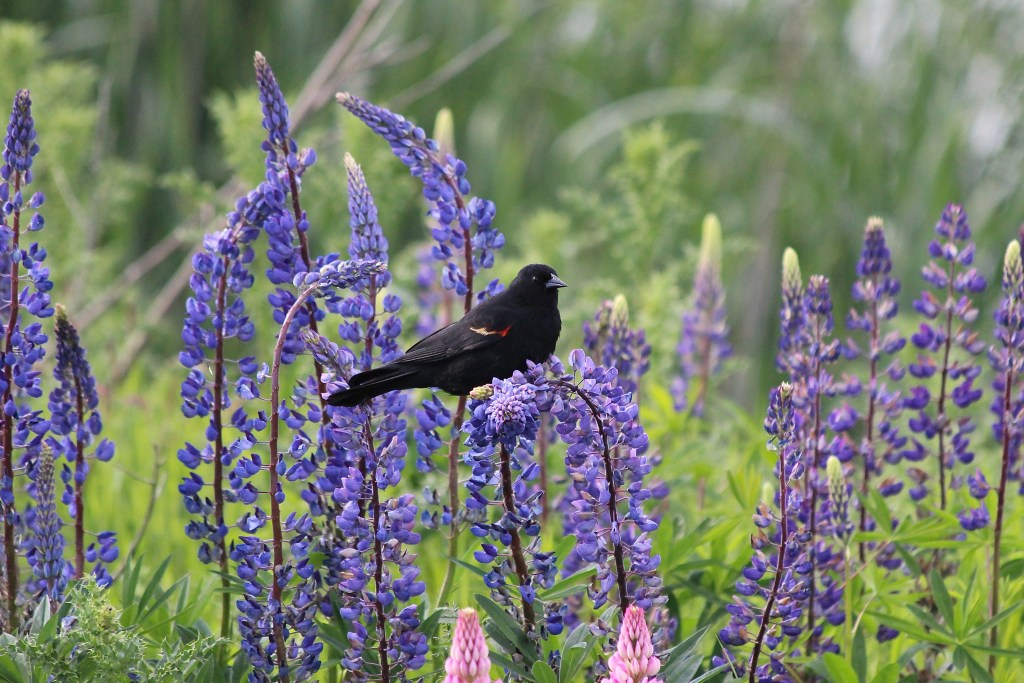 Red-winged Blackbird (male) in flowers. Full disclosure: NOT from Minnesota this March