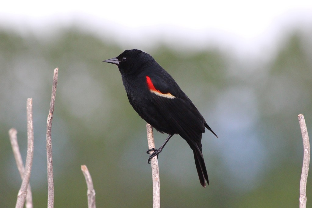 Red-winged Blackbird (male) perched on snag