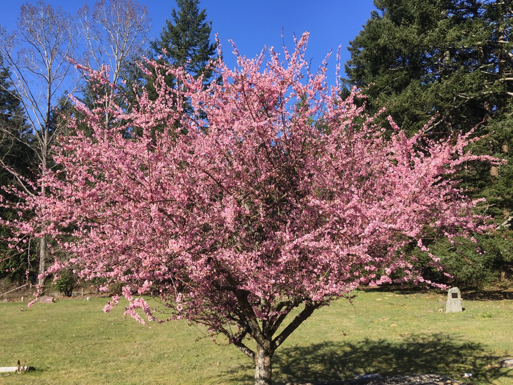 A blooming Cherry Tree (one of the several reasons it's nicer to be in Vancouver than Minnesota in March)