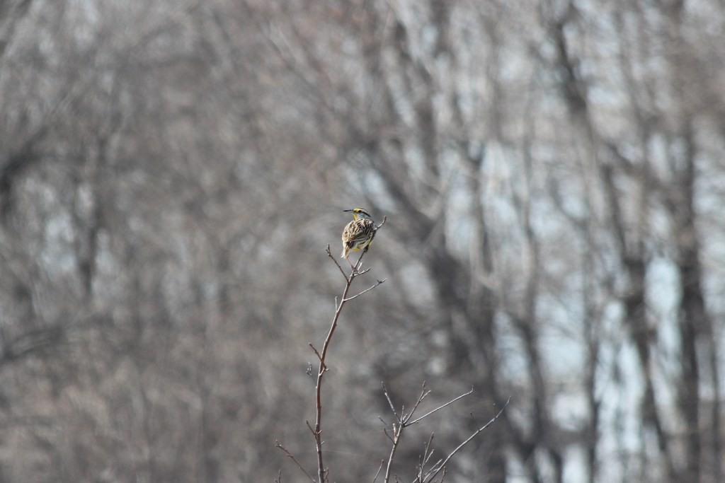 An Eastern Meadowlark singing from his perch at Branched Oak SRA