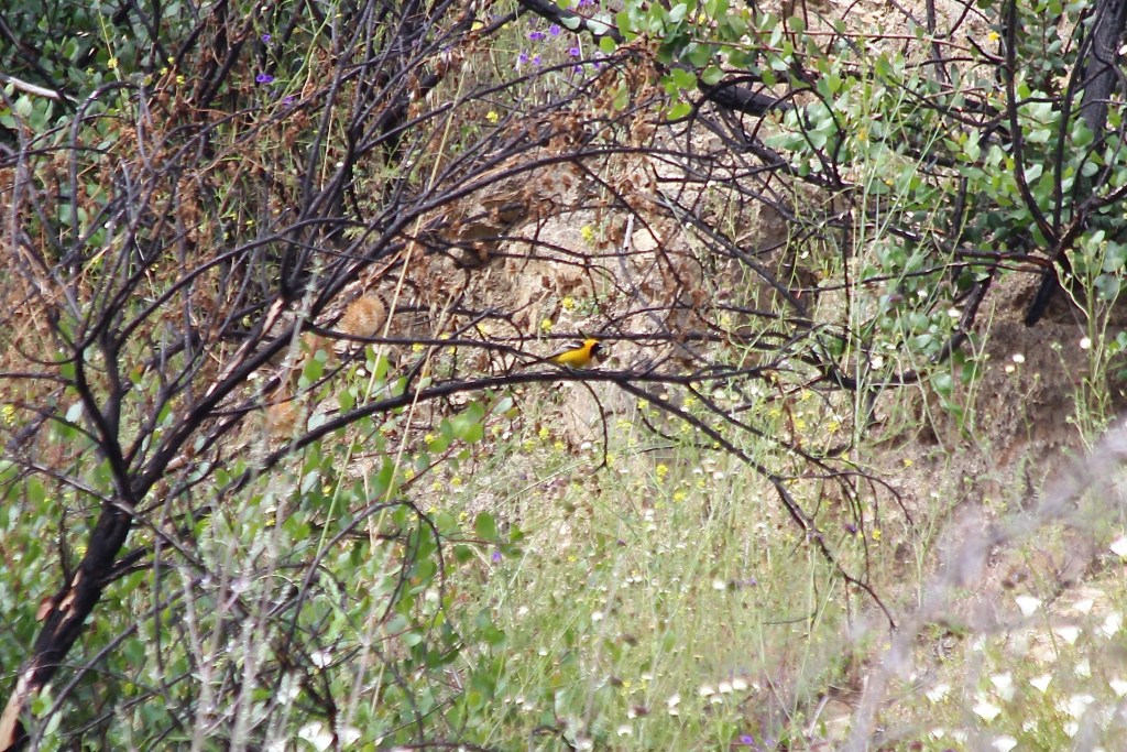 Hooded Oriole at Griffith Park Bird Sanctuary in Los Angeles, CA in June