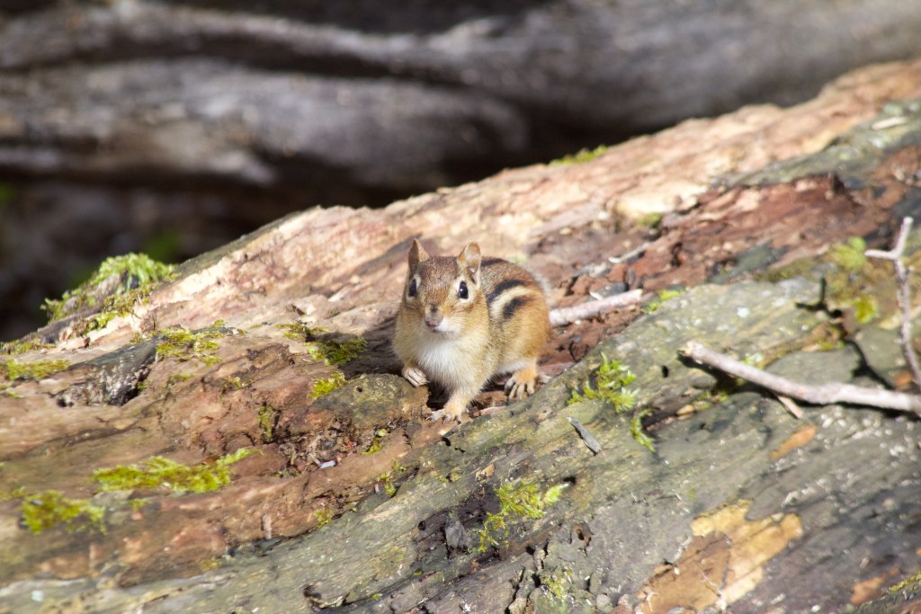 An Eastern Chipmunk hears the Wood Thrush song and stops to listen (probably not, but who knows)