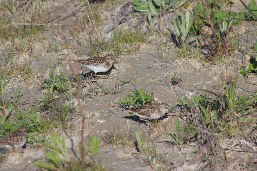 Least Sandpipers at Tommy Thompson Park in Toronto, ON