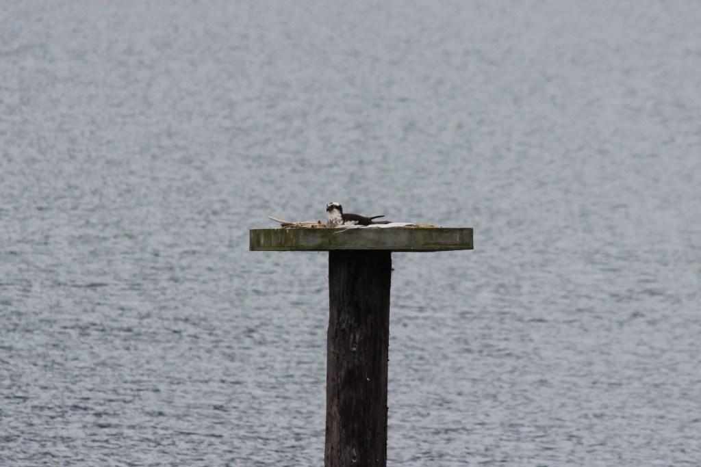 An Osprey on its nest platform