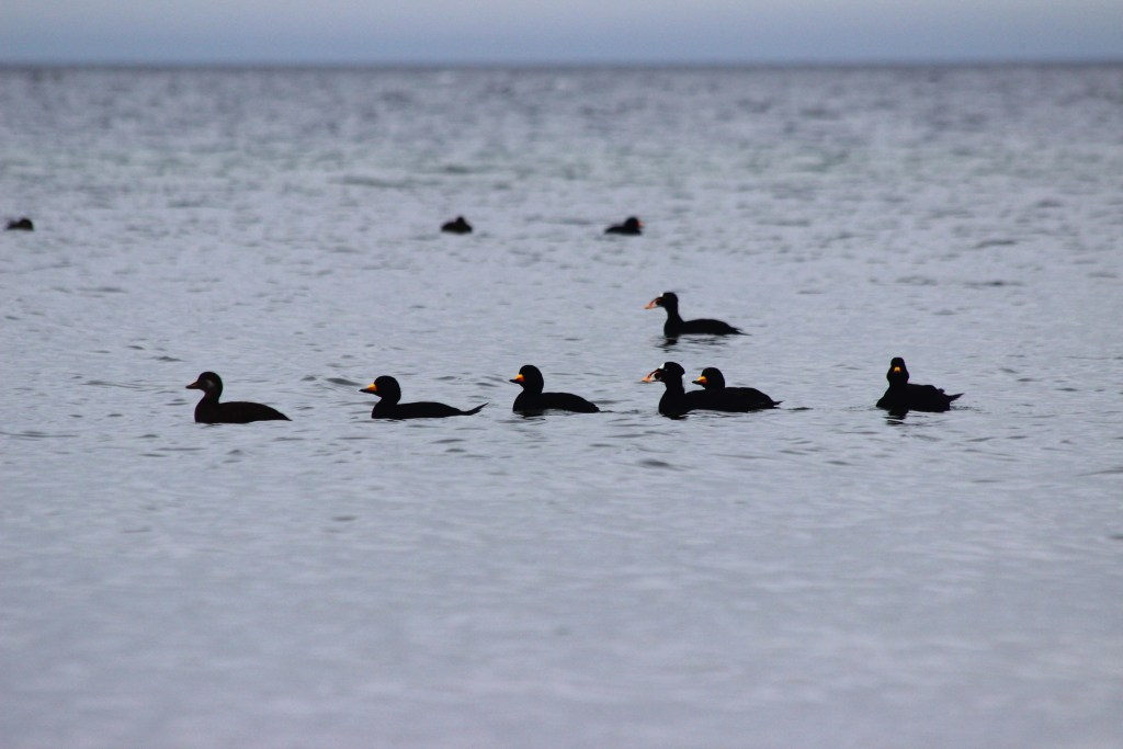Black Scoter and Surf Scoter at Mission Point from February 2016