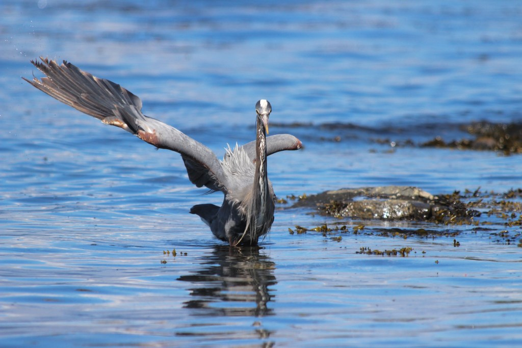 A Great Blue Heron wading through the shallow water