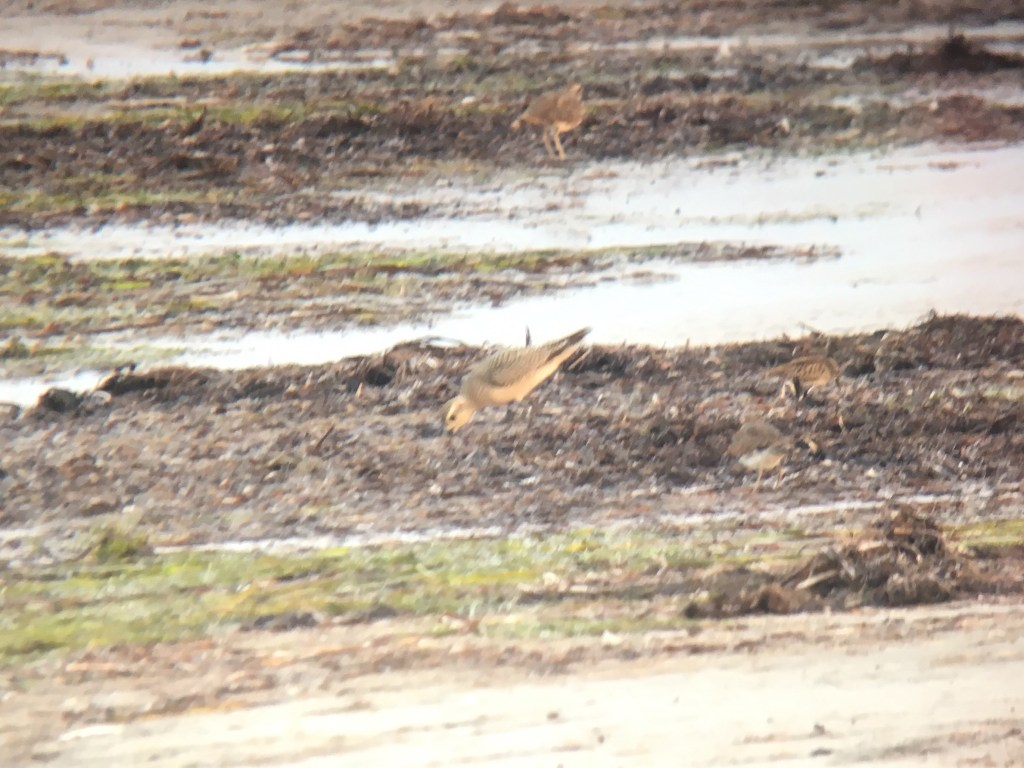 Primaries extend well past the tail on this American Golden-Plover at Boundary Bay