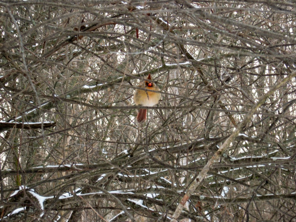 An angry looking female Northern Cardinal fluffs up to insulate from the cold