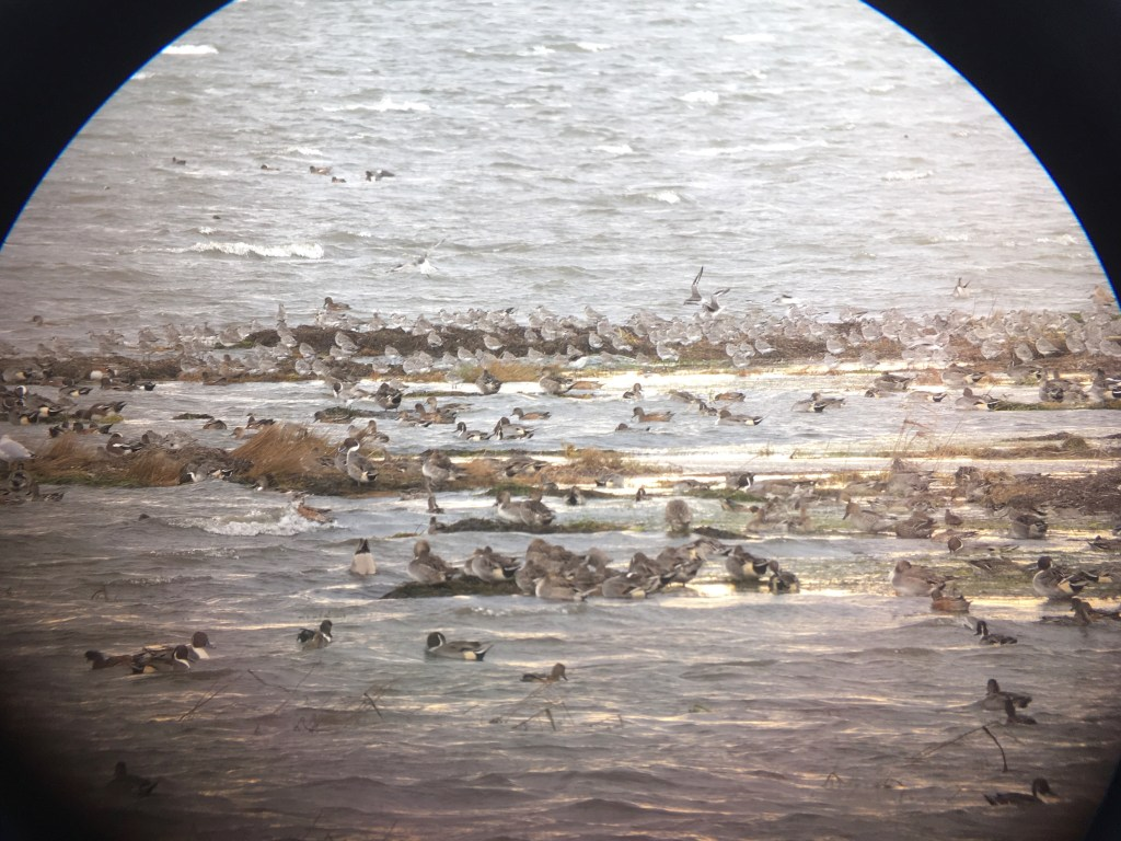 Masses of birds in the wind at high tide at 96 Street at Boundary Bay (Marbled Godwit is at the extreme top right)