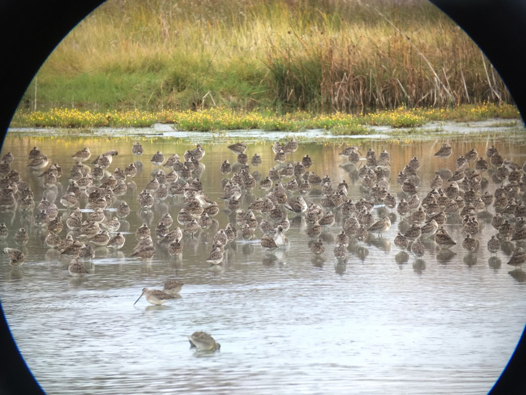 Long-billed Dowitcher at Reifel