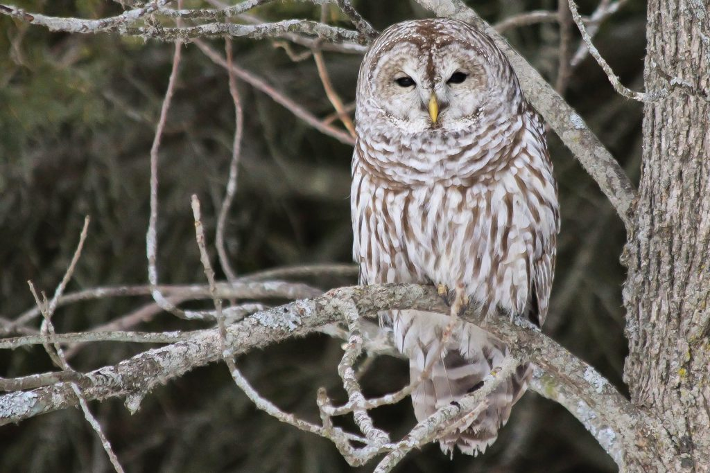 Barred Owl in Kingston ON: this time the bird's in the right 1/3 of the photo.