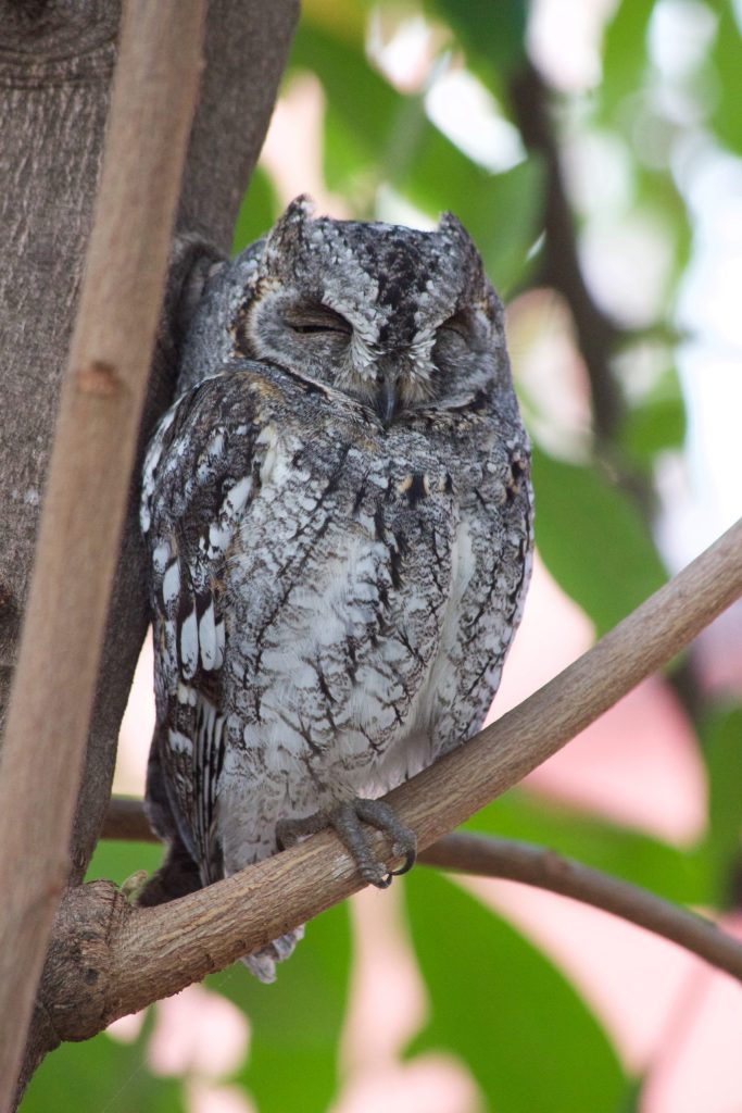 I love this African Scops-Owl photo. But he is just a little above me...
