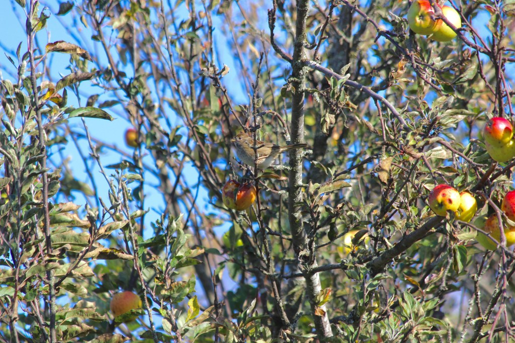 This Golden-crowned Sparrow was enthusiastically eating the apples